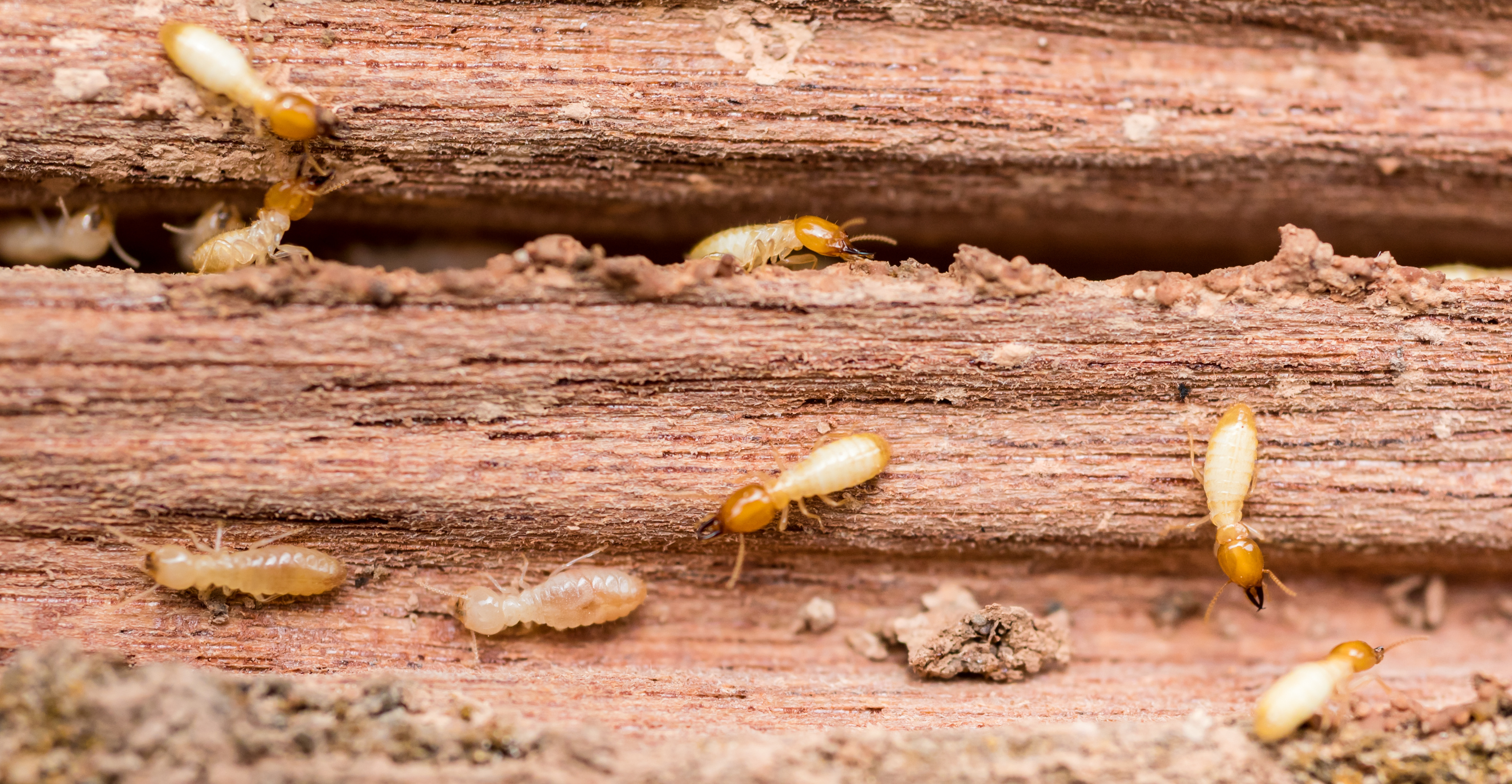 Termite infesting old wood - Casner Exterminating