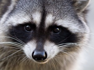 How to Keep Raccoons Away